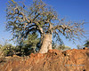 Baobab-tree-growing-on-top-of-a-spectacular-red-granite-cliff,-Epupa,-Namibia