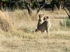 Pair of cheetah waiting for some action, Otjiwarongo, Namibia