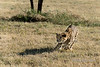 Cheetah in hot pursuit-2, Otjiwarongo, Namibia