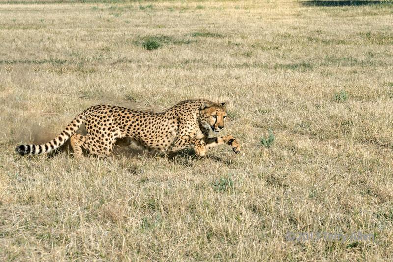 Cheetah in action-2, Otjiwarongo, Namibia