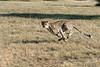 Cheetah in action-3, Otjiwarongo, Namibia
