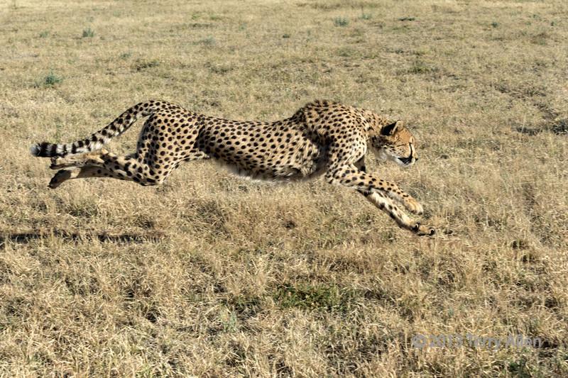 Cheetah in hot pursuit, Otjiwarongo, Namibia