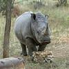 White-rhino-at-salt-lick,-Otjiwarongo,-Namibia