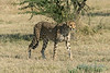 Cheetah,-early-morning,-Otjiwarongo,-Namibia