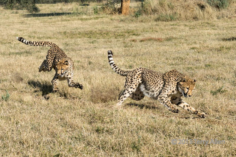 """Composite of cheetah in action, Otjiwarongo, Namibia<br /> <br /> This photo is a composite of two successive frames of a single cheetah in action. At the larger sizes  the non retractable claws of the cheetah can be seen (cheetahs are the only large cat where this occurs).  Cheetah can run at speeds of up to 115 mph, so it was a good photographic challenge to get sharp shots of them in action.  Fortunately the strong morning light allowed a fast shutter speed.  Several other photos of the action can be seen here <a href=""""http://goo.gl/JQtHw"""">http://goo.gl/JQtHw</a>."""