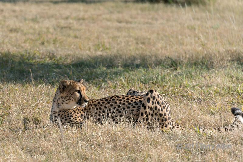 Resting, but alert cheetah, Otjiwarongo, Namibia