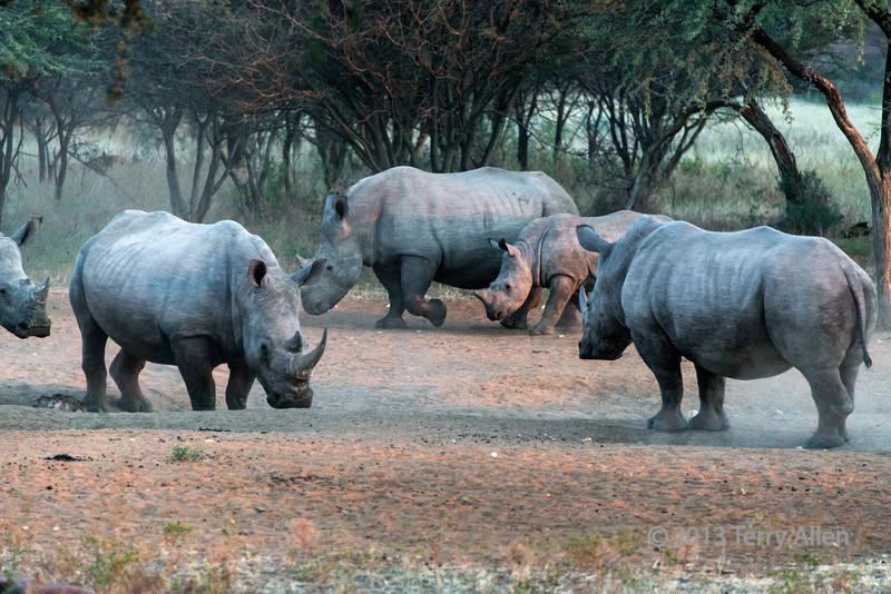 White-rhinos-at-a-salt-lick-at-sunset,-Otjiwarongo,-Namibia