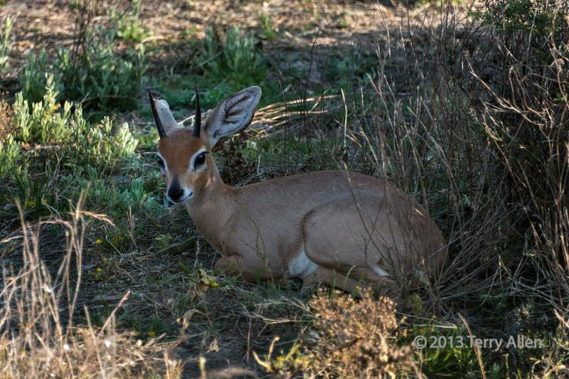 Steenbok-resting-in-the-shade,-Otjiwarongo, Namibia