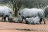 Baby-white-rhino-nursing,-Otjiwarongo,-Namibia