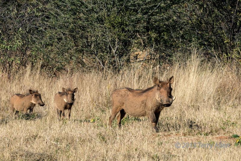 Wart hog family with broken tusk mother, Otjiwarongo, Namibia