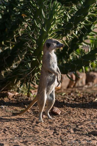 Meerkat-portrait-4