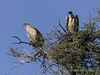 White-backed-vulture-pair