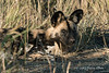 Wild-dog-portrait- 18
