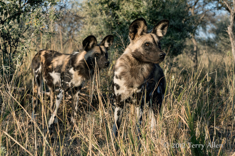 Pair-of-wild-dogs