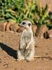Meerkat-portrait-2