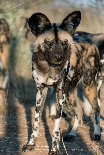 Wild-dog-portrait-13
