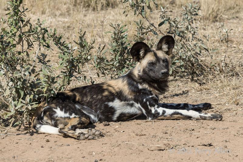 Wild-dog-lying-down-3