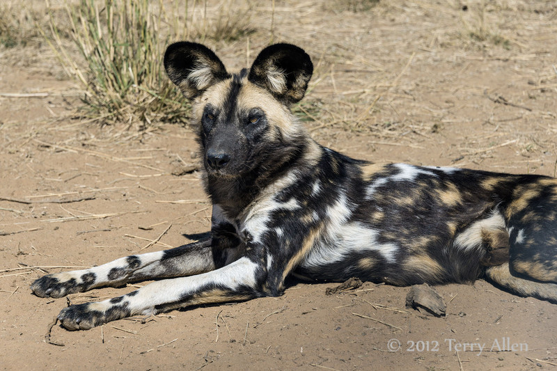 Wild-dog-lying-down-4