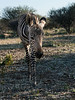 Baby-Grevy's-zebra-2