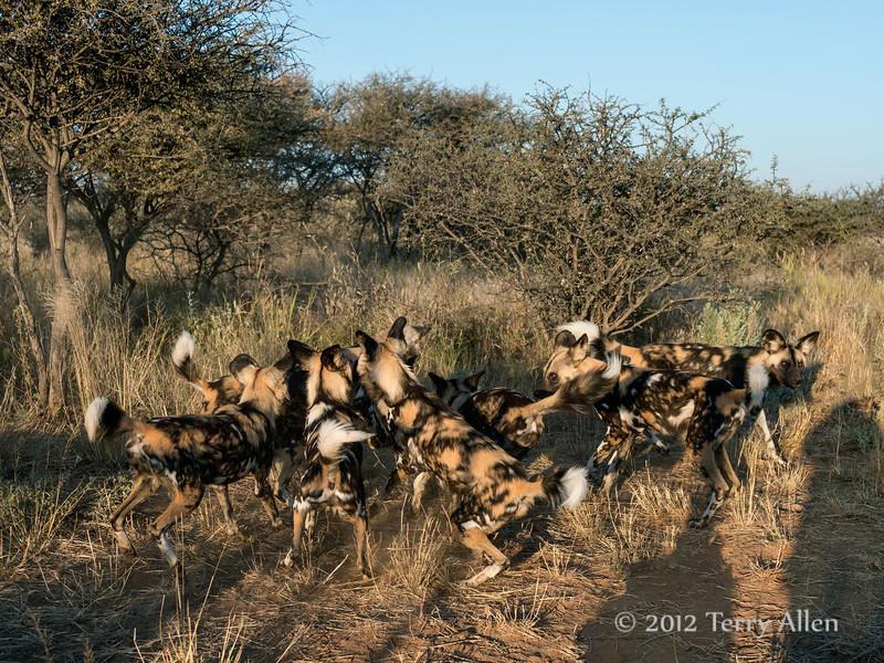 Wild-dog-pack-6