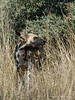 Wild-dog-in-tall-grass-2