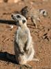 Meerkat-portrait-1