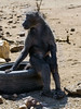 Baboon-sitting-on-tire