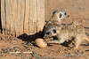 Meerkat-trying-to-open-egg