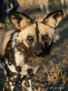 Wild-dog-portrait-8