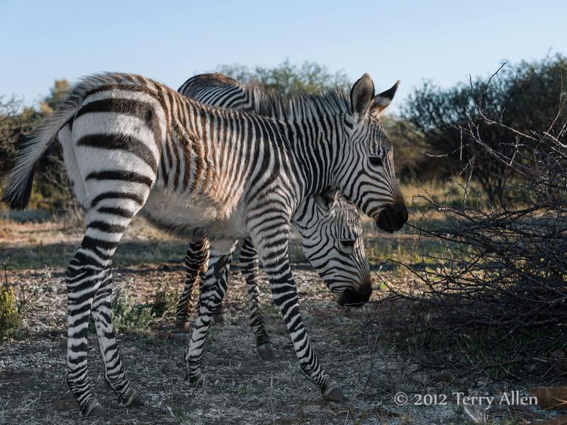 Baby-Grevy's-zebras