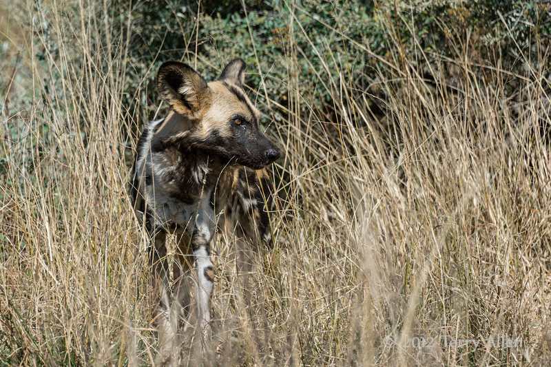 Wild-dog-in-tall-grass-1