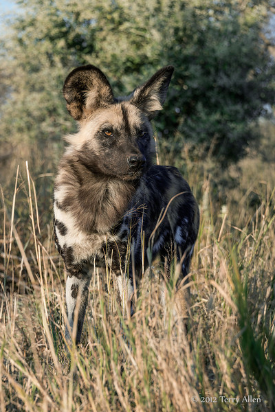 Wild-dog-in-tall-grass-5