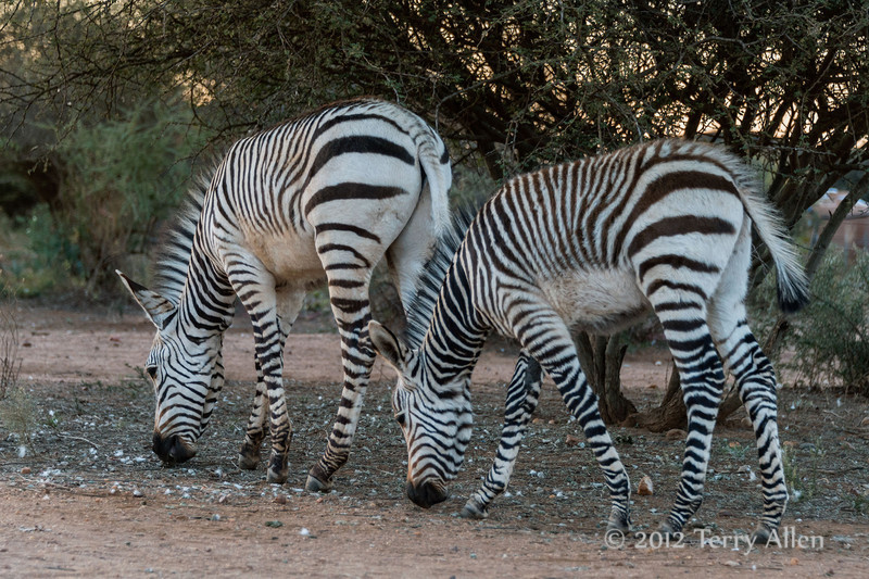 Pair-of-young-Grevy's-zebras