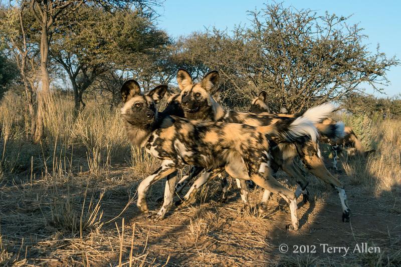 Wild-dog-pack-1
