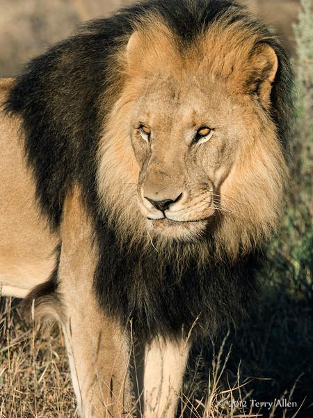 Lion-portrait-4
