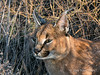 Caracal-portrait-2