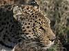 Leopard-portrait-2