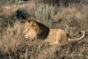 Lion-lying-in-grass-1