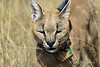 Collared-caracal