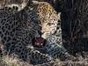 Snarling-leopard-4