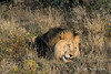 Lion-lying-in-grass-4