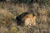 Lion-lying-in-grass-4