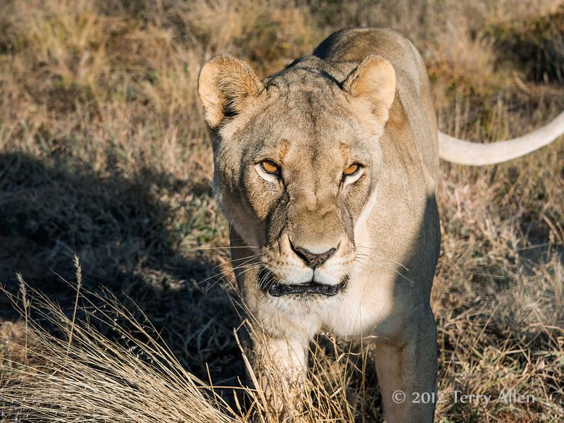 Lioness-portrait-2