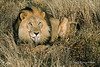 Lion-lying-in-grass-3
