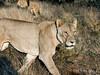 Lioness-&-lion