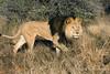 Lion-walking-through-grass