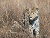Leopard-in-tall-grass-6