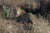Leopard-in-grass-1