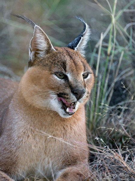 Caracal-licking-its-chops-2