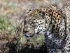 Leopard-3